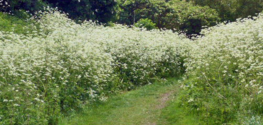 Cow parsley and elderberries